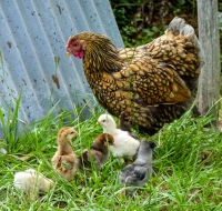 mother-hen-for-web
